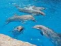 Bottlenose Dolphins (1499003211).jpg