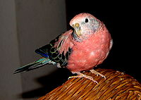 Bourke's parrot from Flickr 290288102 877e046cac b