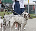 Braque du Bourbonnais - world dog show 2010.jpg
