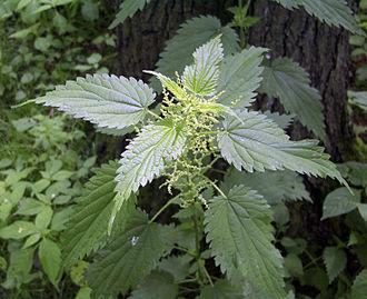 Urtica dioica - Urtica dioica subsp. dioica