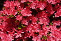 Bright-red-azalea-bush - West Virginia - ForestWander.jpg