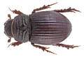 Brindalus porcicollis (Illiger, 1803) (21994400895).png