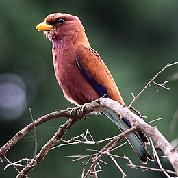 Broad-billed roller, Kruger National park (38184851631).jpg