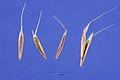 Bromus tectorum seeds.jpg