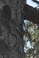 Brown Creeper (Certhia americana) - Kitchener, Ontario.jpg