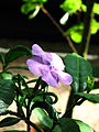 Brunfelsia calycina (flower) 01.JPG