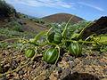 Bryonia verrucosa 0599.jpg