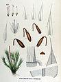 Bryum cirrhatum — Flora Batava — Volume v17.jpg