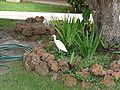 Bubulcus ibis 0018.jpg
