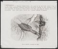 Buceros ruficollis - 1872 - Print - Iconographia Zoologica - Special Collections University of Amsterdam - UBA01 IZ19300073.tif