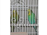 Budgerigars in a cage.jpg