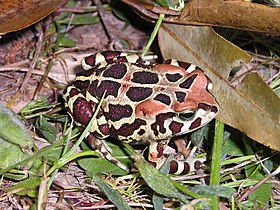 Bufo pantherinus.jpg