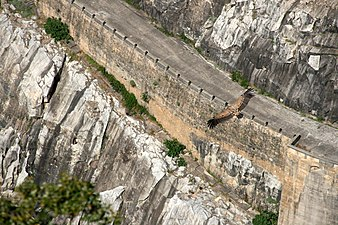 Buitre leonado sobre la presa de Aldeadávila (15 de abril de 2017, Parque Natural de Arribes del Duero) 01.jpg