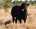 Bull chewing bone 4.jpg