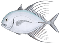 Bumpnose trevally.png