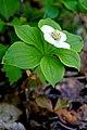 Bunchberry (29020104562).jpg