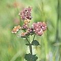 Bupleurum longifolium-3873 - Flickr - Ragnhild & Neil Crawford.jpg