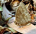 Bush Brown (dry season) Butterfly for Id IMG 0771.jpg