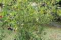 Bush of Carissa carandas with heavy load of fruits.JPG