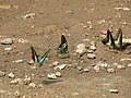 Butterfly mud-puddling at Kottiyoor Wildlife Sanctuary (28).jpg