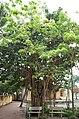 Cây cổ thụ sân Nghè Nhội, trên đường Trường Chinh, thành phố Hải Dương, tỉnh Hải Dương.jpg