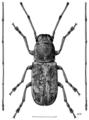 COLE Anthribidae Euciodes suturalis m1.png