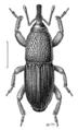 COLE Curculionidae Sitophilus granarius.png