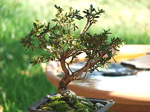 "Satsuki azalea - Satsuki azalea bonsai, 3.5"" tall"