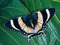 CSIRO ScienceImage 1038 Alcides metaurus Uraniidae.jpg