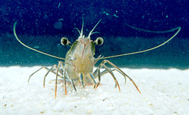 CSIRO ScienceImage 2836 A Tiger Prawn.jpg