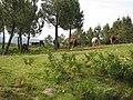 Caballos salvajes junto al Parque Eólico de Treito, Rois - panoramio.jpg