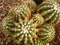Cactaceae in iran- mahallat city کاکتوس های گلخانه های محلات- ایران 35.jpg