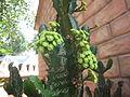 Cactus - കള്ളിമുൾച്ചെടി 08.JPG
