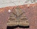 Caenurgina crassiuscula P1210093a.jpg
