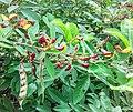 Cajanus Cajan (Fabaceae) 01.jpg