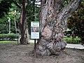Cajuput Trees 白千層 - panoramio.jpg