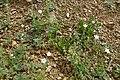 Calandrinia ciliata, Red Maids Sonoran Desert, Late Winter 2013 - panoramio.jpg