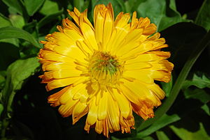 English: Calendula officinalis L.