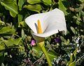 Calla lily (11710).jpg