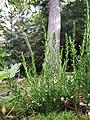 Calluna vulgaris sl30.jpg