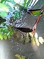 Calopterix virgo 20180722 133804.jpg
