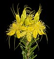 Calytrix aurea - Flickr - Kevin Thiele (1).jpg