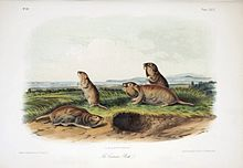 Audubon print of four gophers beside a burrow, near a river bank