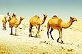 Camels.convoy(8008893480).jpg