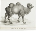 Camelus dromedarius - 1700-1880 - Print - Iconographia Zoologica - Special Collections University of Amsterdam - UBA01 IZ21600035.tif