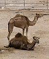 Camelus dromedarius - dromedary - Dromedar - dromadaire - Oasis Park - Fuerteventura - 04.jpg