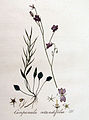 Campanula rotundifolia — Flora Batava — Volume v4.jpg