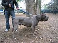Categorycane Corso Wikimedia Commons