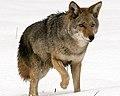 Canis latrans (Yosemite, 2009 – cropped).jpg
