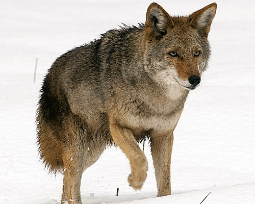 dingo vs coyote 500px-Canis_latrans_(Yosemite,_2009_%E2%80%93_cropped)